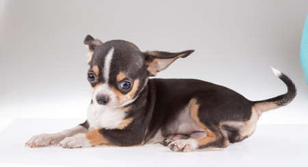 portrait of a cute purebred puppy chihuahu photo