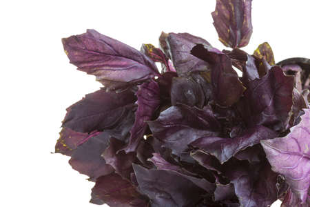 Sweet dark red basil leaves photo