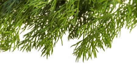 Bright Dill herb photo