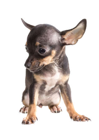 Russian toy terrier, isolated on a white background photo