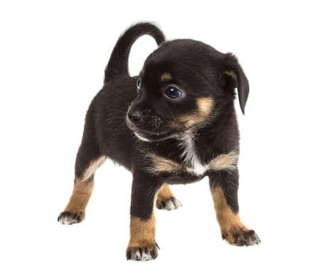 Chihuahua Stock Photo - 17366519