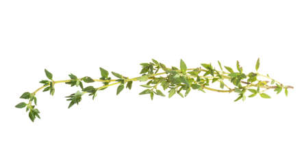 Fresh thyme photo