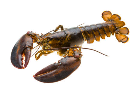 lobster isolated: Raw lobster