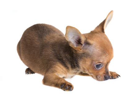 short haired chihuahua puppy in front of a white background photo