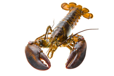 Raw lobster photo