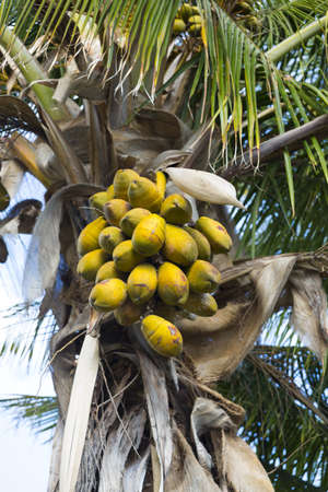 Cocoa palm photo
