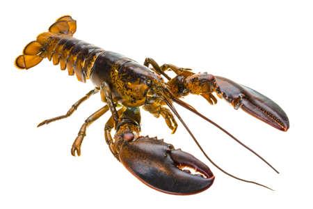 Raw lobster