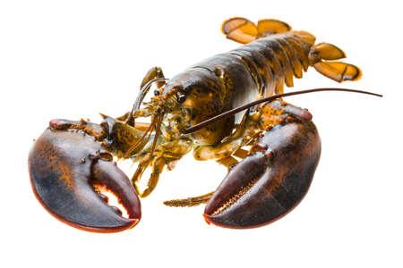 raw lobster: Langosta cruda Foto de archivo