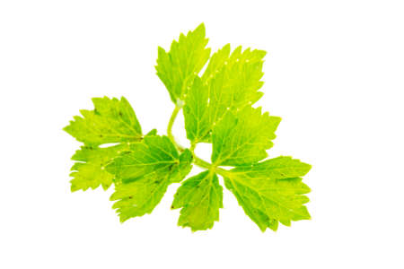 Celery leaf isolated photo