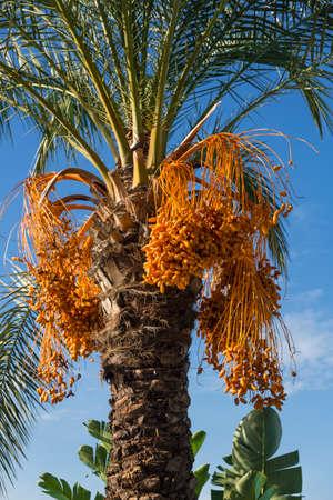 kimri: Date Palm Tree