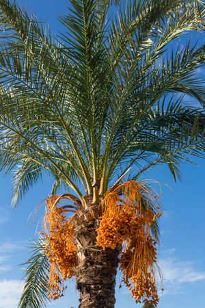 kimri: Date Palm Tree