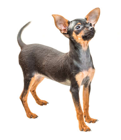 toyterrier: Young Toy-terrier Stock Photo