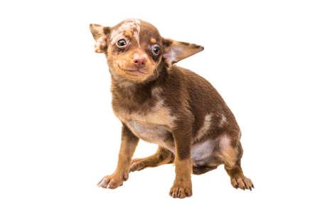 toy terrier: Toy terrier