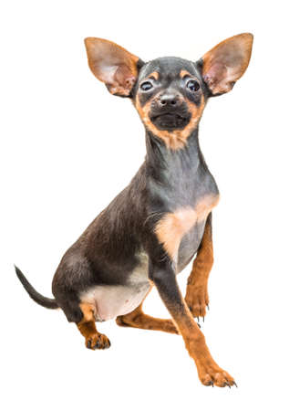 Toy terrier photo