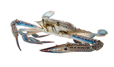 blue swimmer crab: Raw blue crab - ready to cook Stock Photo