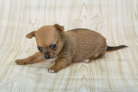 chihuahua puppy: Young Chihuahua puppy