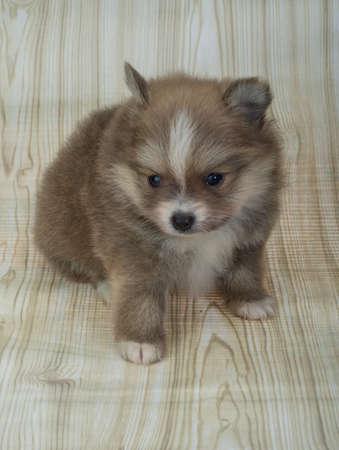 pomeranian: Pomeranian spitz posing