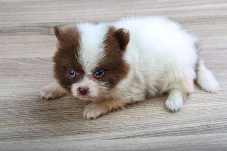 pomeranian: Pomeranian spitz poppy posing