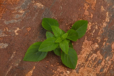 Fresh green Basil leaves - herb for cooking
