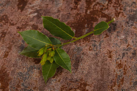 Green young aroma Laurel branch over wooden background