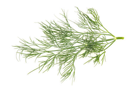 Fresh green dill herb branch ready for cooking