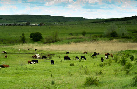 White, black and brown cows grazing on a green summer meadow in cloudy blue sky and a faraway straight horizon. Archivio Fotografico - 148799085