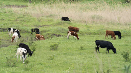 Many black and white and brown cows graze on a green field on a sunny summer day Archivio Fotografico - 148797977