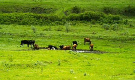 Many cows in black and white and brown graze on a green field near a pond on a sunny summer day. Stockfoto