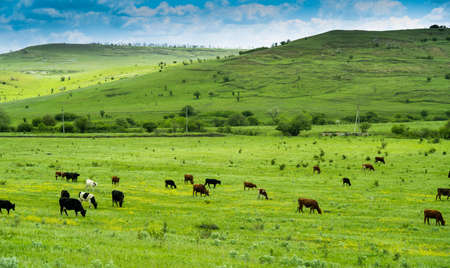 Many black and white and brown cows graze on a green field on a sunny summer day. Blue sky. Valley. The hills. Near the village Archivio Fotografico - 148796194