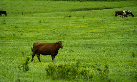 A brown cow grazes in a green meadow on a bright sunny day and carefully looks into the distance. Behind her are two more cows of black and white. Banque d'images