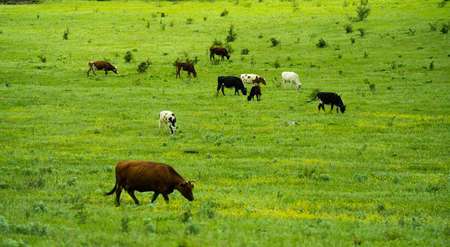 Many cows graze on the green field in summer day. Stockfoto