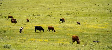 Brown, white and black cows grazing on a green field in sunny day near the farm Archivio Fotografico - 149079546
