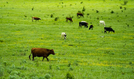 Brown, white and black cows grazing on a green field in sunny day Banque d'images