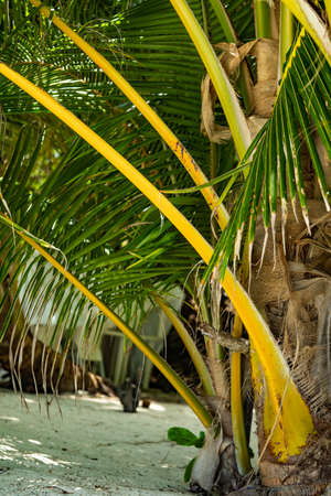Huge green palm trees with coconuts on the beach. Tall trunks, long branches with leaves. A tropical place. The view opens to sand, beach, Islands and places of shops. Shadow of a palm tree on sand Archivio Fotografico