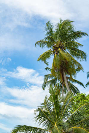 Three coconut palm trees isolated on white background. great summer Archivio Fotografico