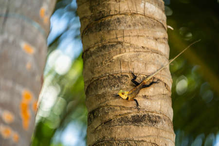 Cold blooded yellow iguana clings to a palm tree as he warms himself in the sunshine. Green iguanas Iguana iguana are an invasive species in Florida.