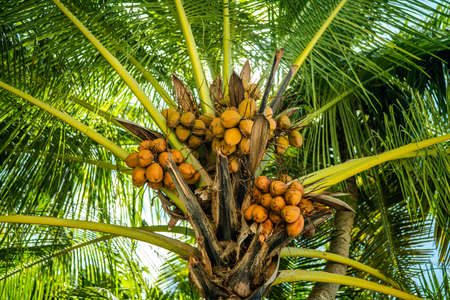 Large green coconuts grow naturally on the palm tree. Maldives island
