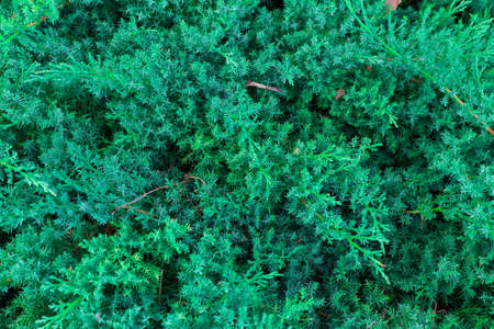thicket: Coniferous thicket Stock Photo