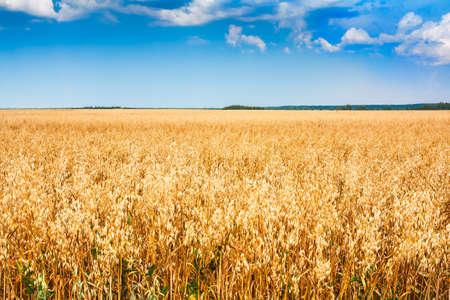 cereal: Campo de la planta de cereales con el cielo azul en un día soleado de verano antes de la cosecha
