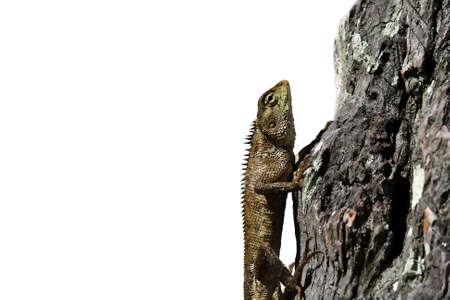 bearded dragon lizard: Bearded dragon lizard creeping on wood with white background