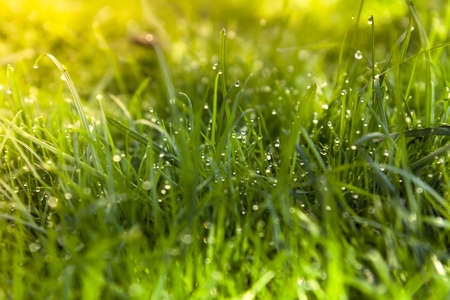 Vibrant summer grass with dew background Imagens