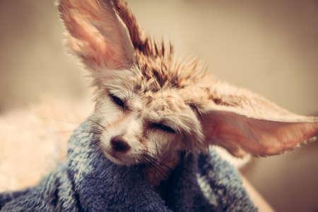 disheveled: Funny disheveled puppy fennec fox shaking head