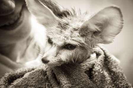 disheveled: Funny disheveled puppy fennec fox with his smiling owner on background Stock Photo
