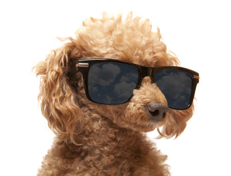 Red Toy Poodle  in the sunglass  photo