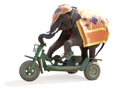 clumsiness: Elephant rides a bicycle isolated on white