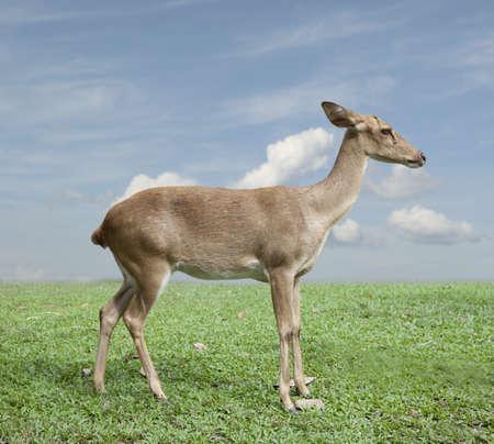 Eld's deer from Thailand  (Cervus eldii siamensis) Stock Photo - 16596732