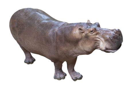 hipop�tamo: Hippopotamus isolado no fundo branco