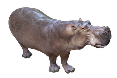 hippo: Hippopotamus isolated on white background