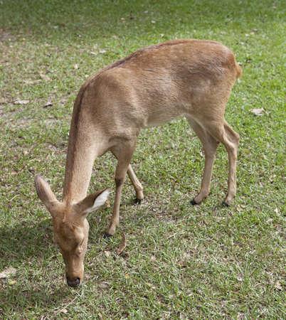 siamensis: Elds deer from Thailand (Cervus eldii siamensis)  Stock Photo