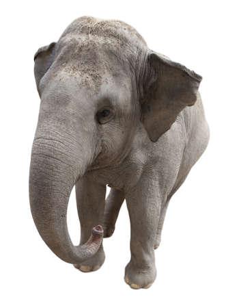 betray: Elefante asi�tico aislado en el fondo blanco Foto de archivo